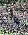 Fasciated tiger heron - Flickr - Lip Kee.jpg