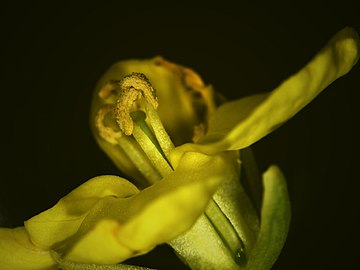 Fascinating flora - a close-up of oilseed rape flower.jpg