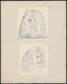 Felis leo - 1700-1880 - Print - Iconographia Zoologica - Special Collections University of Amsterdam - UBA01 IZ22100049.tif