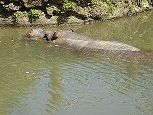 Auckland Zoo -  Auckland Zoo's elderly female hippopotamus Snorkel, who has since died, in Auckland Zoo's former hippopotamus exhibit.