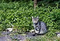 Feral cat in Saint Petersburg 2013-08-24.jpg
