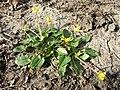 Ficaria calthifolia sl54.jpg