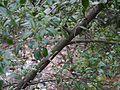 Ficus microcarpa (8150114011).jpg