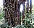 Ficus natalensis, lugwortels, Manie van der Schijff BT, a.jpg