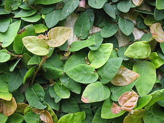 Ficus pumila - F. pumila foliage