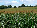 Field of maize, near The Warren, Wiltshire - geograph.org.uk - 546071.jpg