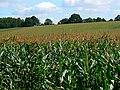 Field of maize, near The Warren, Wiltshire - geograph.org.uk - 546071.jpg