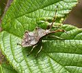 Final Instar Nymph Coreus marginatus - Flickr - gailhampshire.jpg