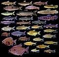Fish fauna (10.3897-zookeys.875.31977) Figure 6.jpg