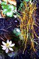 Fleur, feuilles et racines du Coptide du Groenland (5732345388).jpg