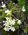 Fleur en Vanoise (16).JPG