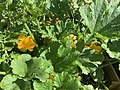 Fleurs de courgettes dans le jardin en juin 2020.jpg