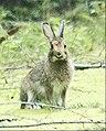 Flickr - Oregon Department of Fish & Wildlife - snowshoe hare swart odfw crop.jpg