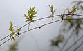 Flickr - ggallice - Montane bamboo.jpg