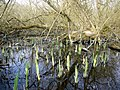 Flooded willow carr at Clayton's Wood - geograph.org.uk - 1216343.jpg