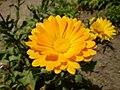 Flora at the Mukteshwar, District Nainital, Uttaranchal P6040393.jpg