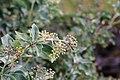 Flora della Sardegna 201 (06).jpg
