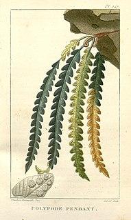 <i>Lellingeria</i> genus of plants