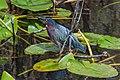 Florida Everglades-Green (green Backed ?) Heron (15856630646).jpg