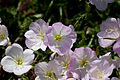 Flower, Pinkladies Showy evening primrose - Flickr - nekonomania (1).jpg
