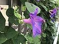 Flower of Ipomoea nil 20190822-1.jpg