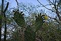 Flowering Cactus, Hato Caves, Curaçao (4388995194).jpg