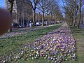 Flowering Crocus in Amsterdam 2.jpg