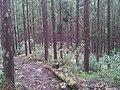 Forêt de Cryptoméria, Hell Bourg, Île de la Réunion - panoramio.jpg