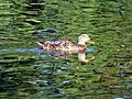 Ford Park, Duck on Lower Pond, Redlands, CA 8-12 (7796529340).jpg