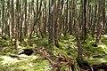 Forest in Yatsugatake 34.jpg