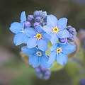 Forget-me-not (51150276828).jpg