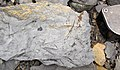 Fossiliferous mudshale (Price Formation, Lower Mississippian; Cloyds Mountain roadcut, Valley Coalfield, Virginia, USA) 3 (30407834471).jpg