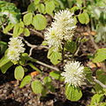 Fothergilla major-IMG 2222.jpg
