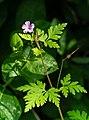 Fox geranium in Govik 1.jpg