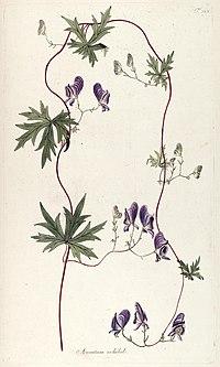 Fragmenta botanica, figuris coloratis illustrata (T. 123) BHL287752.jpg