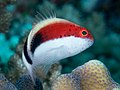 Freckled hawkfish (Paracirrhites forsteri) (48279219147).jpg