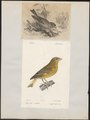 Fringilla chloris - 1700-1880 - Print - Iconographia Zoologica - Special Collections University of Amsterdam - UBA01 IZ16000069.tif