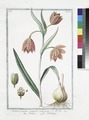 Fritillaria praecox purpurea variegata - Fritella - Fritillaire. (Missonbells, Fruitellary) (NYPL b14444147-1130753).tiff