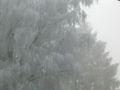 Frost on birch.jpg