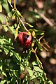 Fruit trees עצי פרי (25).JPG