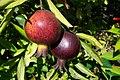 Fruit trees עצי פרי (48).JPG