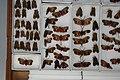 Fulgoridae Drawers - 5036705956.jpg