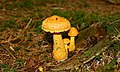 Fungus, Tardree forest (5) - geograph.org.uk - 943136.jpg