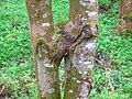 Fused Ash Trees.JPG