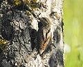 Göktyta Eurasian Wryneck (19728846434).jpg