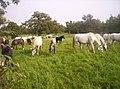 GHI fressende Pferde auf der Weide.jpg