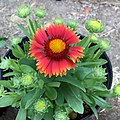 Gaillardia-arizona-red-shades-IMG 3753.jpg