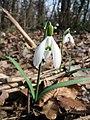 Galanthus.nivalis.jpg