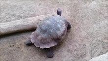 File:Galapagos Riesenschildkröte Chelonoidis niger.ogv