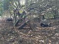 Galapagos tortoises in 2013 3.JPG